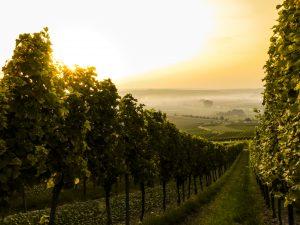 Autumn days in the vineyard. Image: Sven Wilhelm / Unsplash