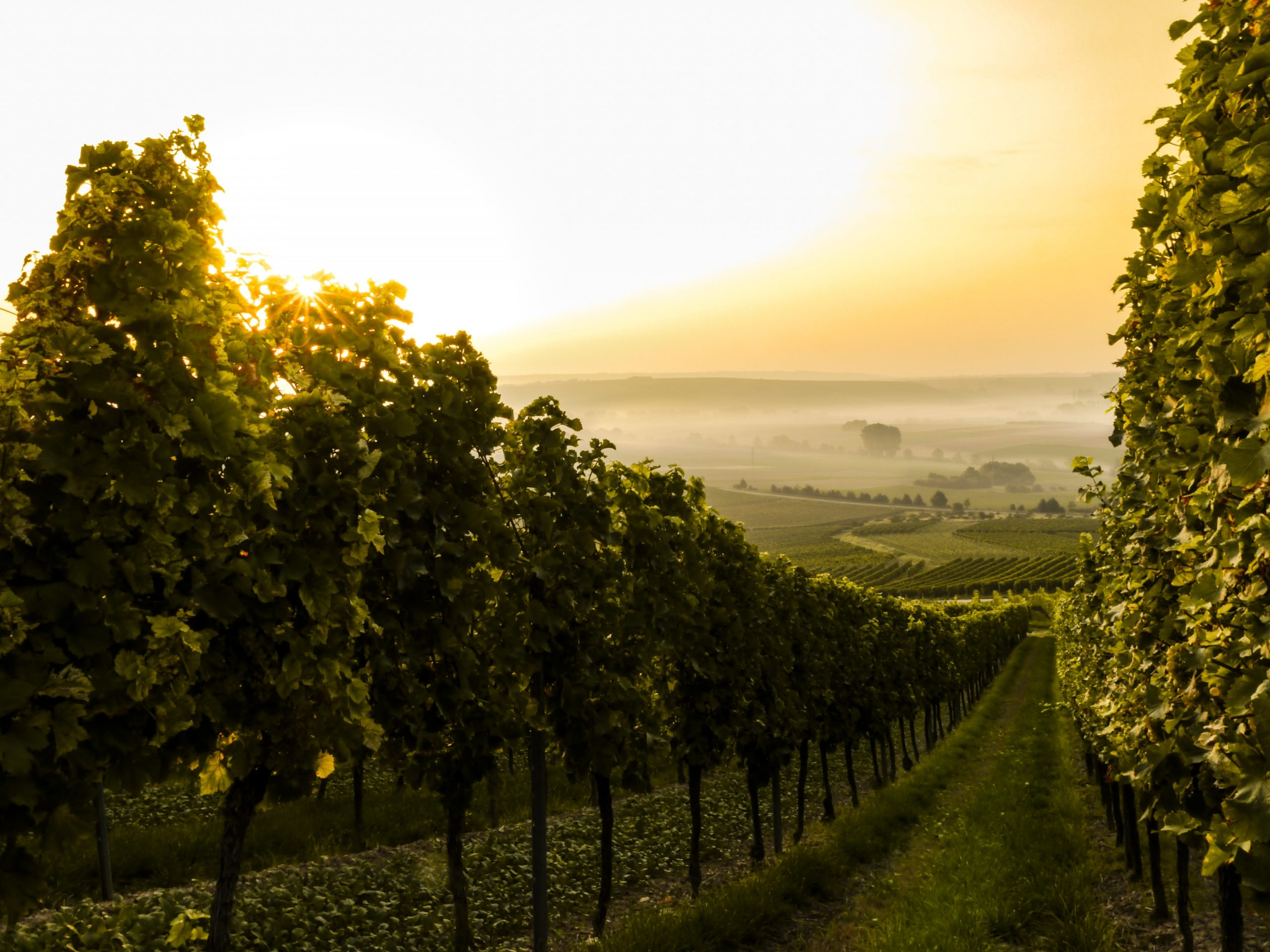 Autumn days in the vineyard. Image: Sven Wilhelm / Unsplash