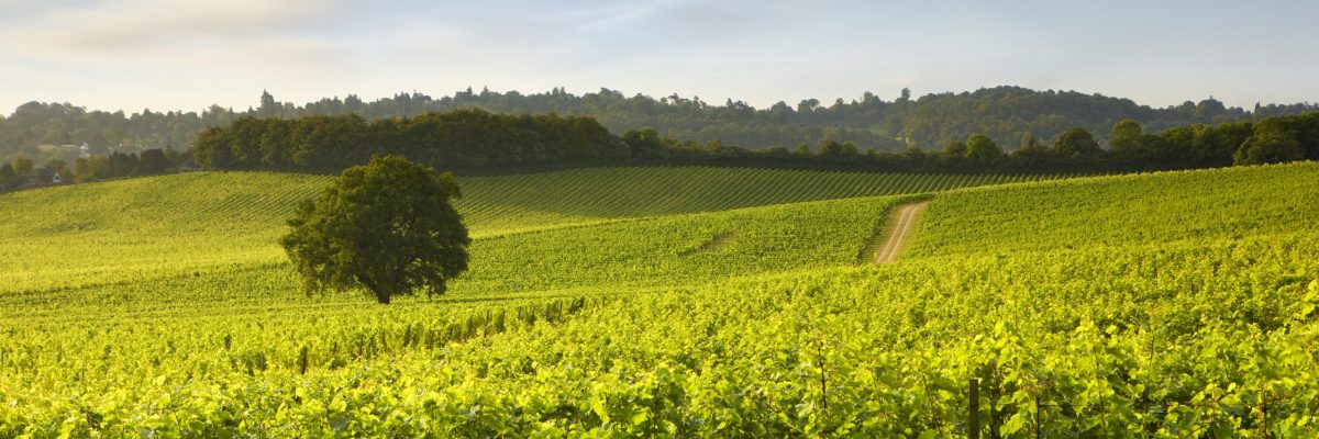 1.-Helen-Dixon-vineyard-in-green-1
